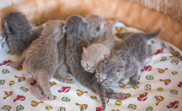 Когда кошке можно рожать в первый раз