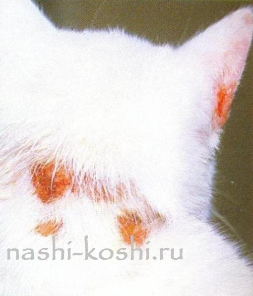 5 причин болячек на ушах у кошки - диагностика и лечение