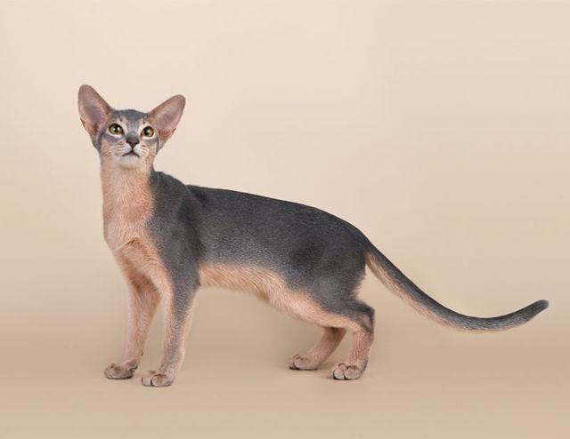 Кот абиссинец: описание и характер породы