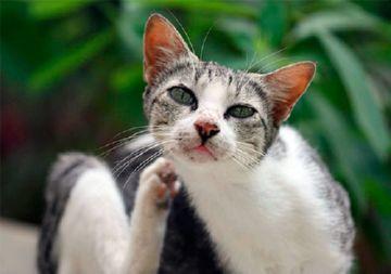 Способы борьбы с блохами у кошек - народные средства