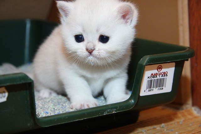 Желтый понос у котенка - причины, симптомы, лечение