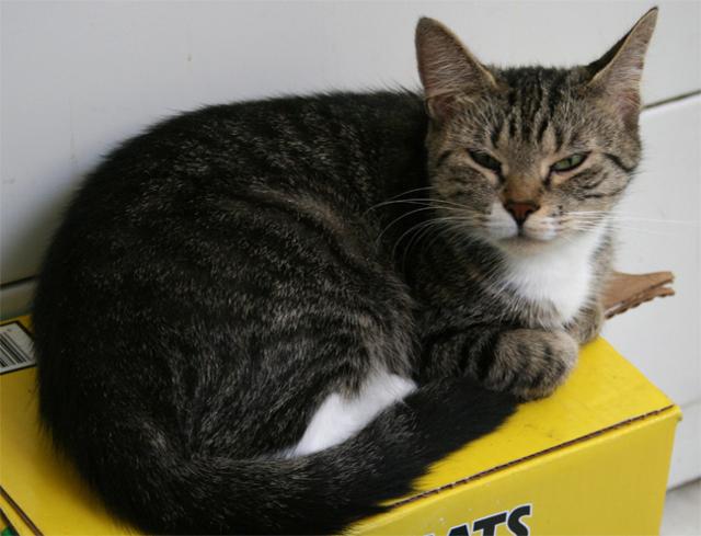 Как определить настроение кошки по хвосту?