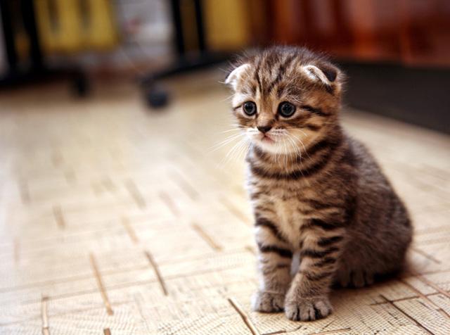 Кошки с маленькими ушами - описание пород