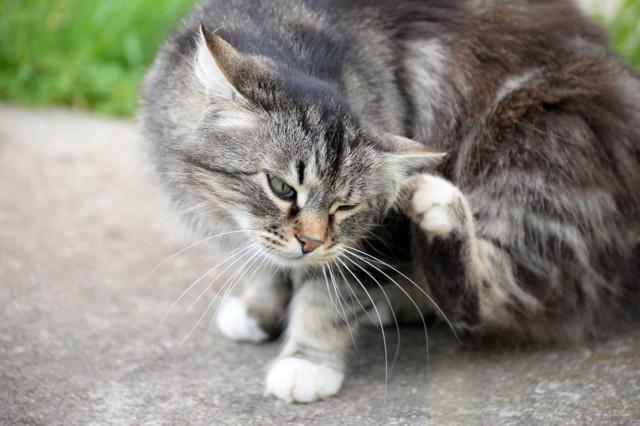 Кошки постоянно вылизывают себя - причины