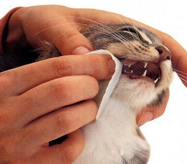 12 причин почему у кошки выпал зуб - что делать и как помочь