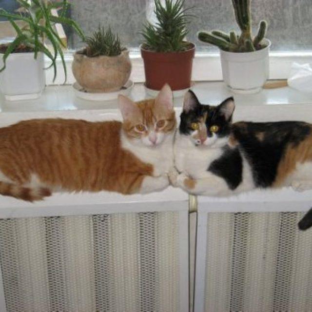 Как проявляется течка у кошки и как выглядит