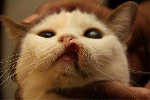 Свищ у кота - лечение, виды, профилактика