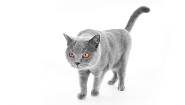 Сколько должна весить кошка - средний вес кота