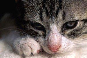 6 причин почему кота горячий нос - симптомы, как помочь