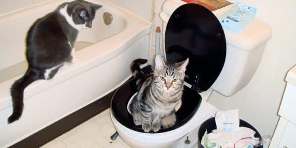 Как приучить кота к унитазу - 3 этапы