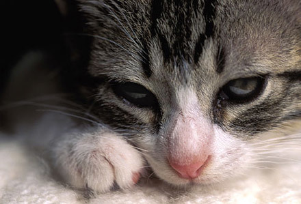 Вакцина Пуревакс для кошек - инструкция по применению