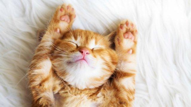 Грыжа у кошки на животе - причины, лечение и что делать