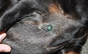 У кота шишка на спине под кожей - причины и лечение