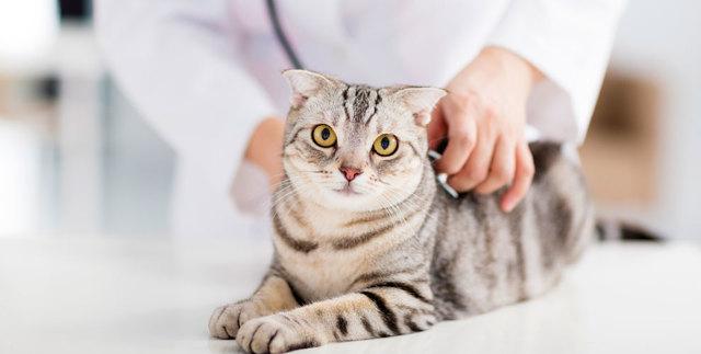 Кошка после операции по удалению опухоли молочной железы