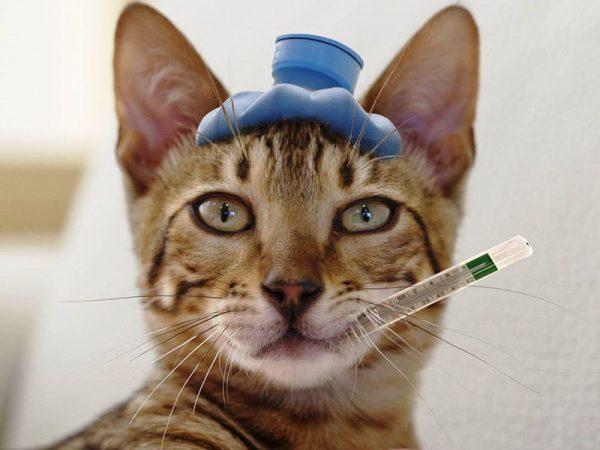 У кота температура 40 - что делать, как сбить?