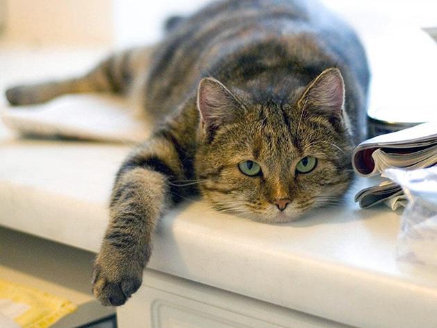 Какая нормальная температура тела у кошек