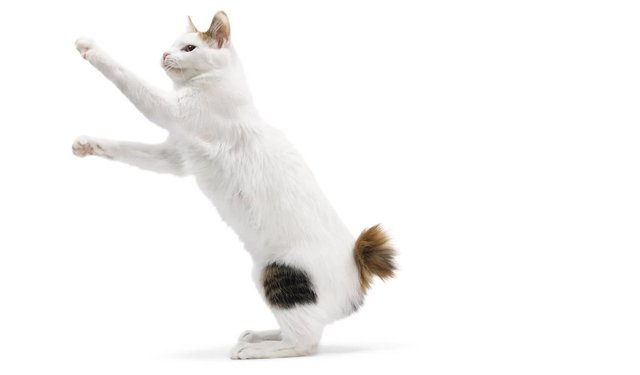 Порода кошек без хвоста - название пород, описание и фото