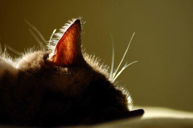 Можно ли чистить уши кошкам?