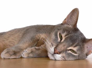 9 причин почему кошка срыгивает еду после еды - что делать