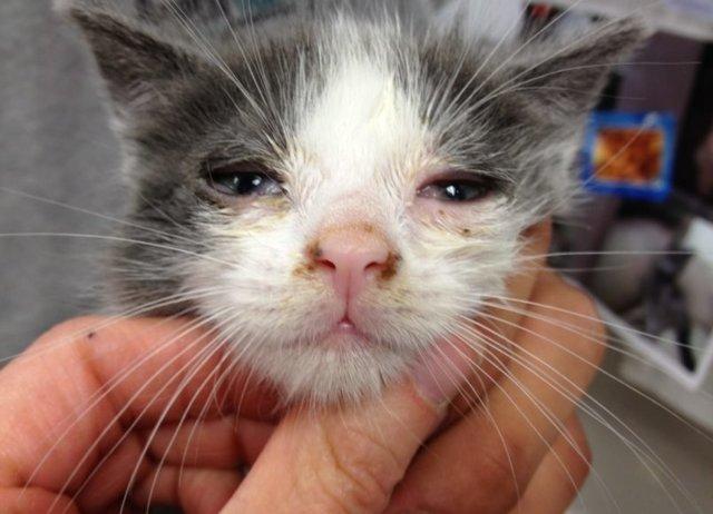 Короновирусная инфекция у кошек - симптомы, лечение, причины