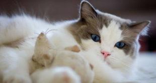 Длинношерстные кошки - список и описание пород