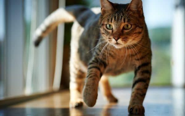 Кошка загуляла первый раз - что делать в домашних условиях