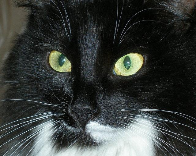 У кота черный нос - причини и лечение