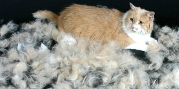 Причины почему у кота сильно лезет шерсть?
