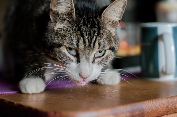 Креветки кошке: можно давать или нет