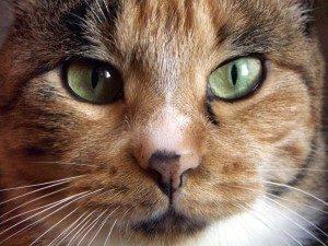 Кошки и беременность у женщины - опасность животного