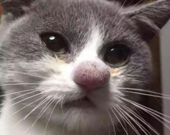 Лоратадин для кошек - дозировка, инструкция по применению