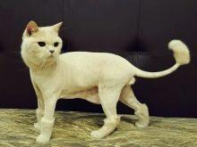 Можно ли стричь кошек - уход за шерстью