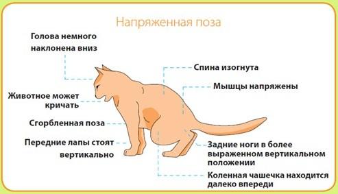 Камни в почках у кота - 11 причин появления