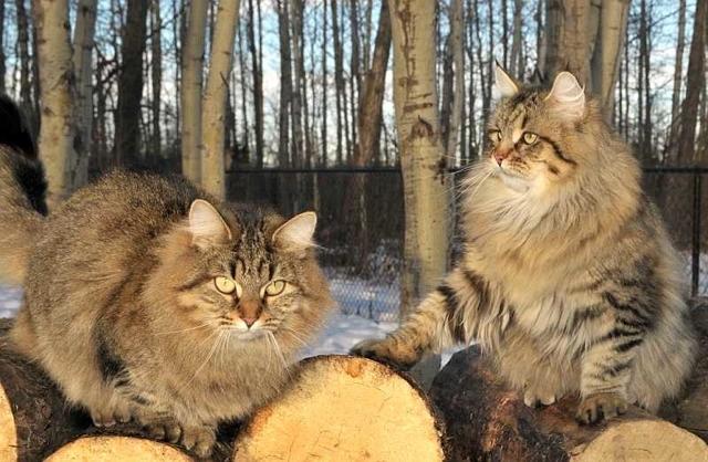 Кошки, не вызывающие аллергию у людей - породы и фото