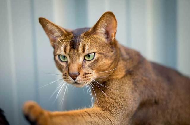 Какую кошку лучше завести в квартире - описание пород