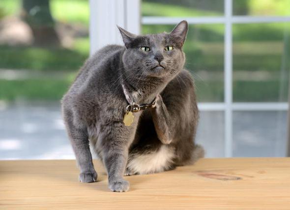7 причин почему кошка чешет шею - что делать