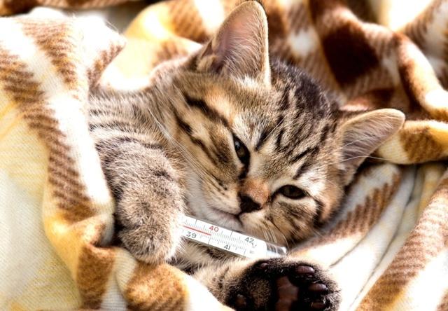 Парацетамол кошке: можно ли давать при простуде