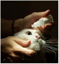 4 причины, почему  у кошки гноятся глаза - симптомы, лечение