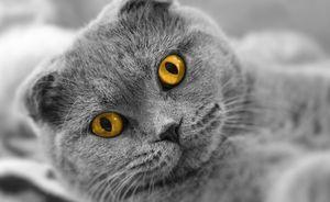5 симптомов аллергии на британских кошек