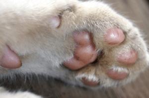5 причин наростов на подушечках лап у кошек - как лечить