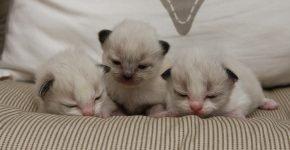 3 причины почему котята рождаются слепыми
