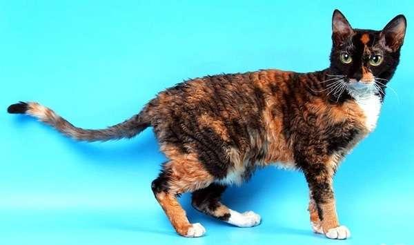 Кот хромает после укола - причины и что делать