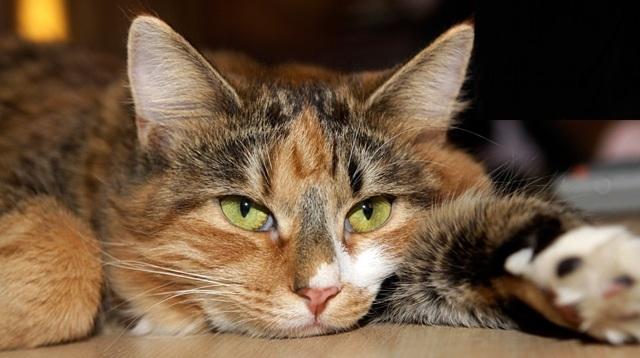 6 причин анемии у кошек - симптомы, лечение, профилактика