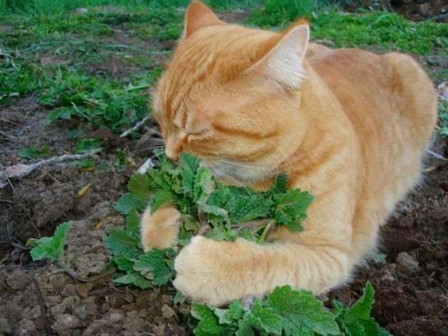 Вредна ли валерьянка для котов - лекарство или вред