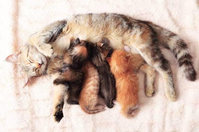 Сколько по времени рожает кошка - что делать во время родов
