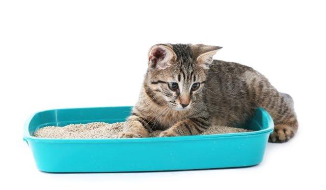 Как приучить взрослую кошку к лотку в квартите