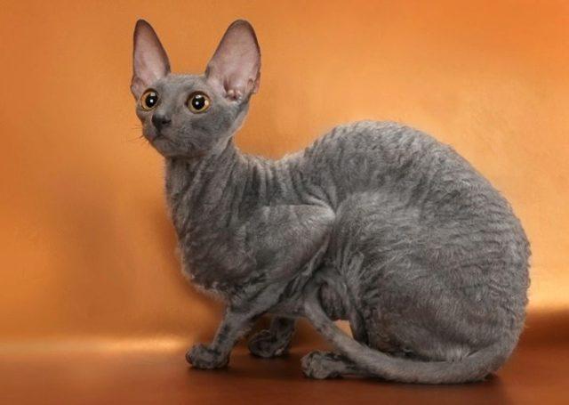 Кошка рекс - фото, описание, характер и характеристика породы