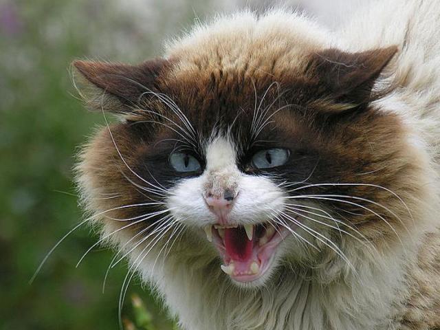 Болеют ли кошки бешенством - профилактика