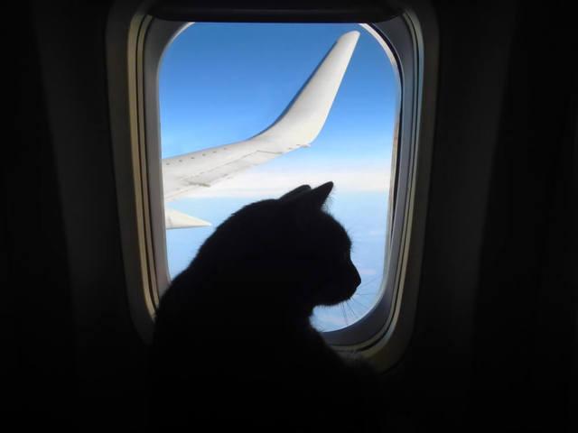 Как перевезти кошку в самолете