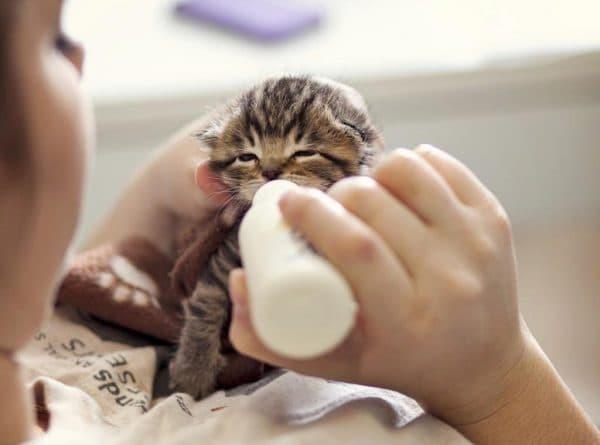 Как и чем кормить новорожденного котенка